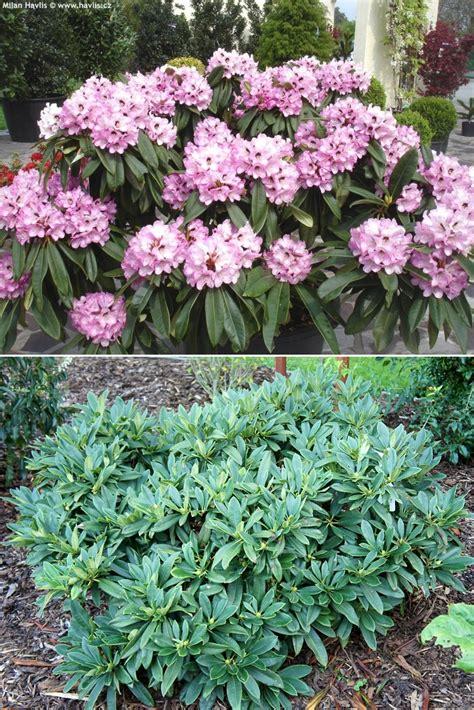 flowering evergreen shrubs zone 7 rhododendron calophytum dominik havlis cz