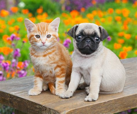 pugs and kittens pug animal stock photos kimballstock