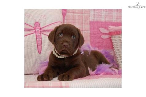 chocolate lab puppies for sale in missouri akc gracie chocolate lab labrador retriever puppy for sale near springfield
