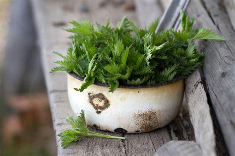 cucinare ortica pungente e aromatica 5 idee per usare l ortica in cucina