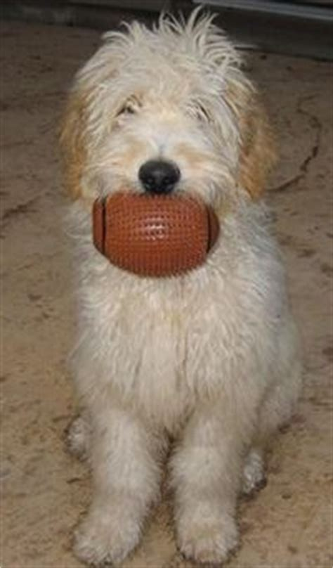 are golden retrievers easy to potty f1 standard goldendoodle puppies for sale poodle crossed with golden retriever