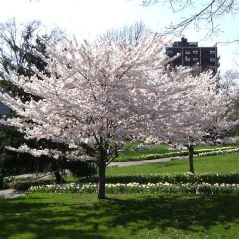 33 cherry tree best 25 cherry tree ideas on