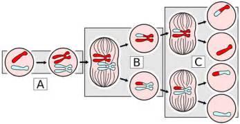 meiosis notes 10 1