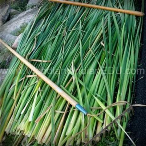 Cattail Mats by 17 Best Images About Woodland Indian Educational Programs