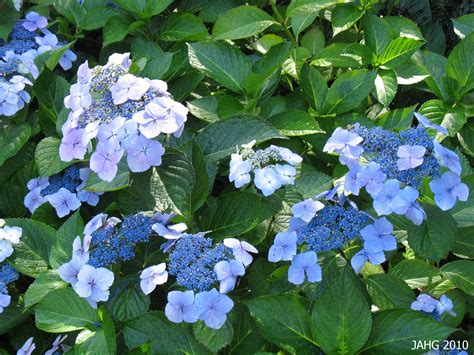 hydrangea macrophylla f normalis name that plant