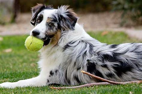australian shepherd house dog what makes australian shepherd such an amazing dog purrs n grrs