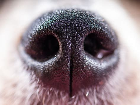 why are dogs noses why do dogs noses petmd