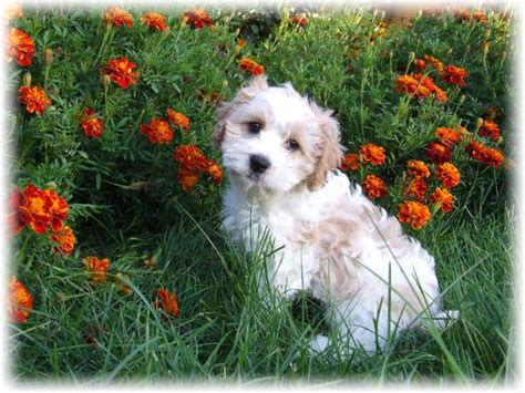 small dogs for sale near me small dogs for sale cheap near me pets wallpapers