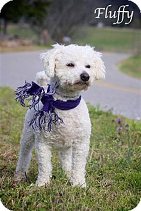 puppies for adoption albany ny fluffy adopted albany ny bichon frise