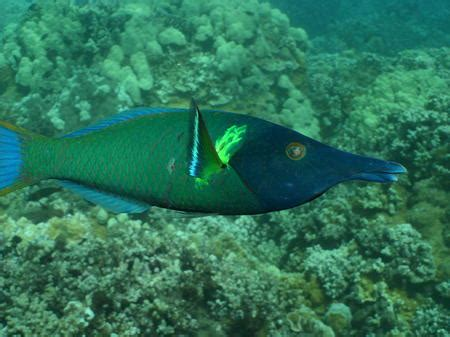 green bird wrasse large male bird wrasse fish animals background wallpapers on