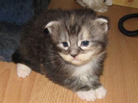 pin maine coon kittens for adoption murfreesboro animals