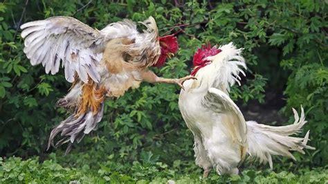 kumpulan berbagai gambar ayam