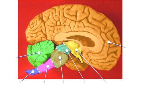 what color is the brain file human brain midsagittal cut color png wikimedia commons