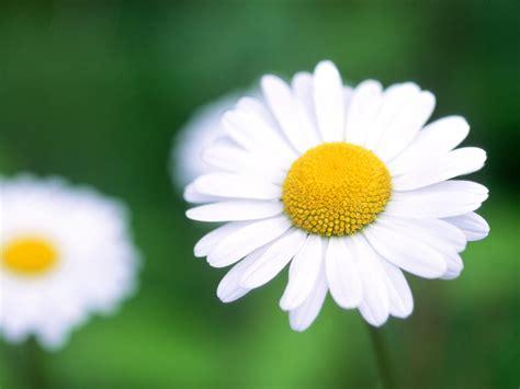 daisy flower daisies