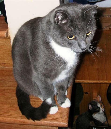 Grey And White Tuxedo Kitten   www.imgkid.com   The Image