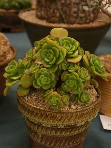 aeonium lily pad world  succulents