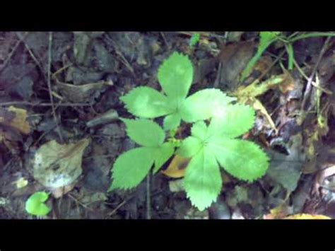 how to hunt for wild ginseng 11 steps with pictures ginseng hunting 8 20 11 quot green gold quot youtube