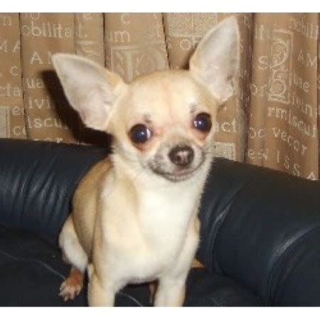 brownhills chihuahua mad chihuahua stud  walsall west