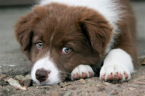 brown border collie puppies brown border collie puppy animals collie puppies border collie