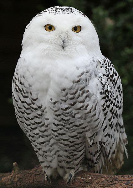 snowy owl arctic tundra