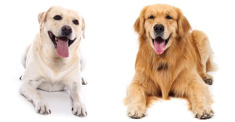 labrador vs golden retriever labrador retriever vs golden retriever which breed is best