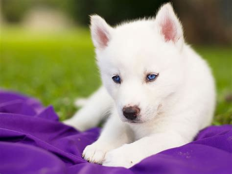 baby husky puppies really baby husky puppies with blue search thing