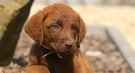 chesapeake bay retriever puppy 5 things to about chesapeake bay retrievers petful