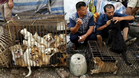 yulin festival millions protest as china s controversial yulin festival begins itv news