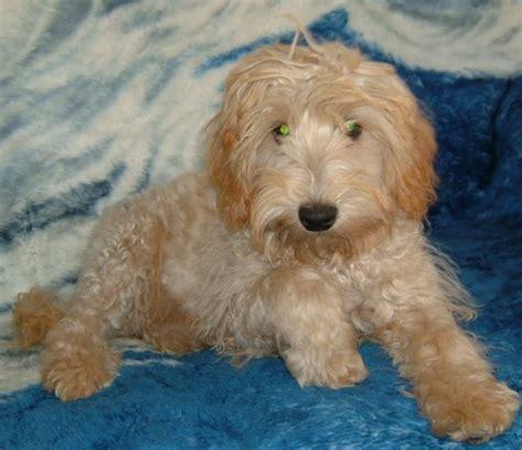 schnauzer poodle mix puppies schnoodle schnauzer poodle mix info puppies