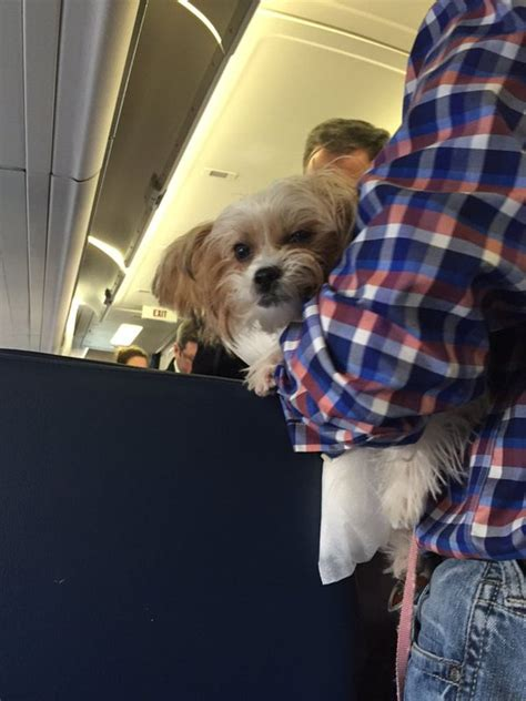 comfort dogs on airplanes airline passengers upset over fake emotional support animals