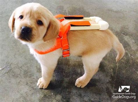 puppy guide picture of the day guide pup in 171 twistedsifter