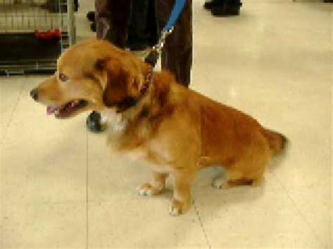 golden retriever and corgi mix adopted animal dogs golden retriever corgi mix