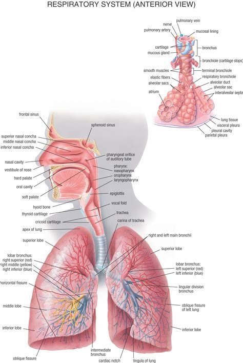 Human Anatomy human archives page 4 of 60 human anatomy chart