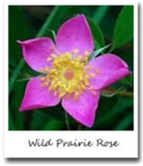 wild rose iowa state flower travel iowa usa state flowers officialusa com
