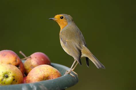 bird of the month robin the english garden