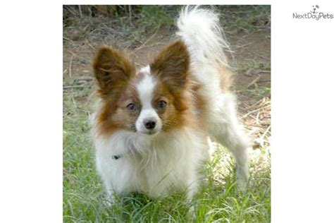 papillon puppies for sale pin papillon puppies for sale puppy pictures on