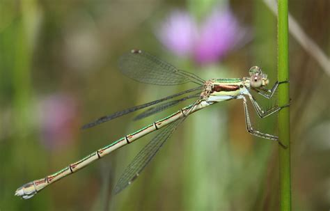 green dragonfly l dragonfly and damselfly identification help
