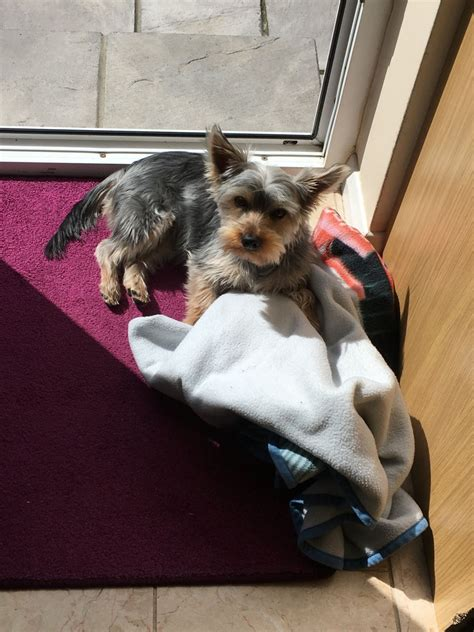 10 month yorkie 10 month pedigree yorkie puppy for sale erith kent pets4homes