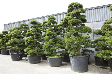 garten bonsai kaufen gartenbonsai kaufen ilex bonsai starter bonsai im garten