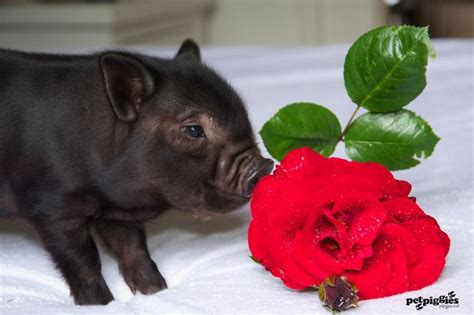 valentines pig 15 best images about petpiggies micro pigs at valentines