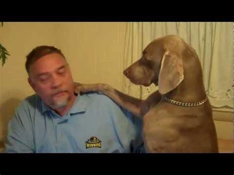 Vi Search Ignore Home Animals Weimaraner Channel Mp4 Vizhole