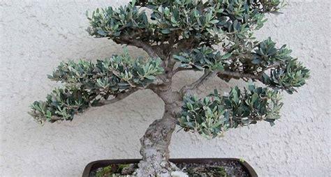 concime per olivo in vaso ulivo olea europea olea europea schede bonsai