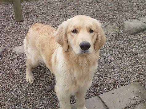 golden retriever breeders in michigan akc golden retriever for sale akc marketplace
