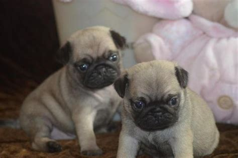 pug rehoming and adorable pug puppies ready for rehoming animals and adorable pug puppies