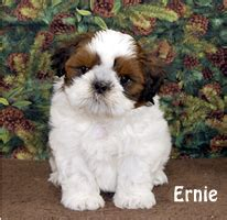 shih tzu puppies for sale chicago puppies available