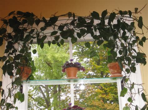 indoor vine indispensable vines