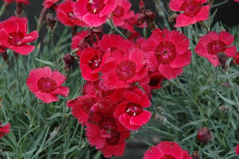 dianthus eastern star the site gardener