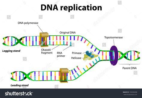 dna replication diagram dna replication vector diagram 199206998