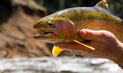 steamboat fish steamboat springs colorado fishing fly fishing alltrips