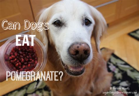 can dogs eat sugar can dogs eat pomegranate golden woofs